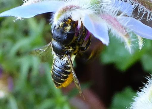 Blattschneiderbiene an einer Blüte
