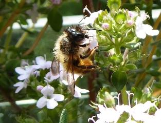 Rostrote Mauerbiene am Thymian