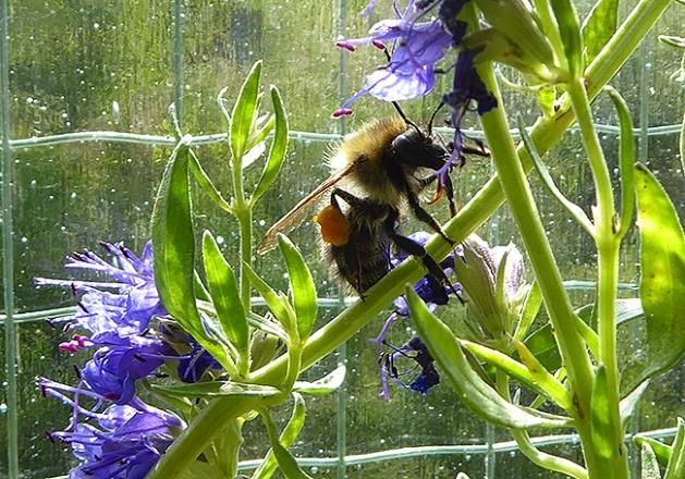 Eine Ackerhummel mit dickem Pollenpaket am Ysop