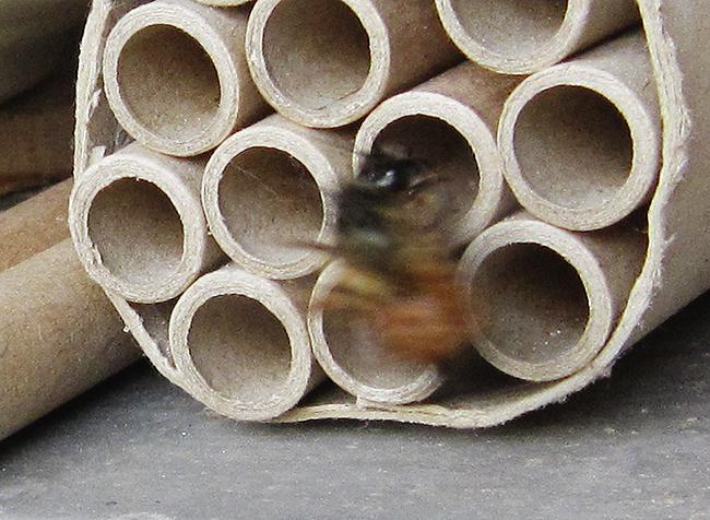 Zu schnell für mich, die Mauerbiene