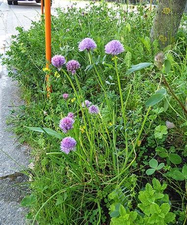 Schnittlauch gedeiht prächtig am Straßenrand. Diese Pflanze hat riesige Blüten.