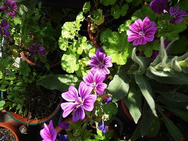 schöne Dauerblüher und heiß begehrt :-)
