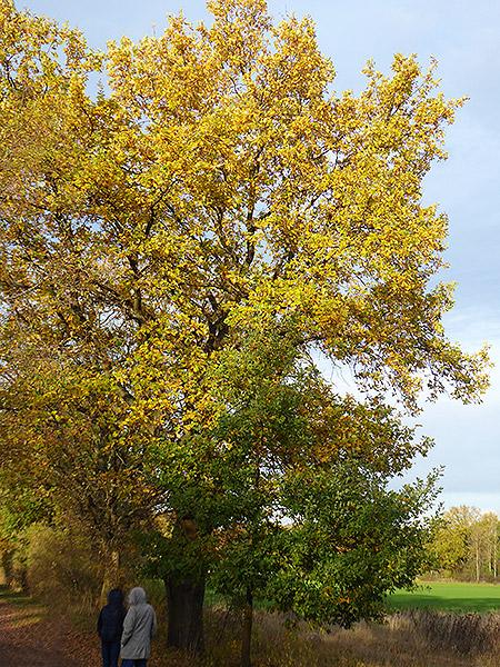 Dieses Jahr sind die Eichenblätter besonders schön gelborange gefärbt!