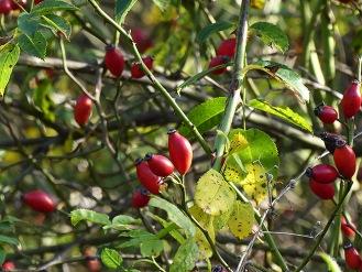 Hagebuttenrot. Rote Beeren im Herbst sind wunderbar!