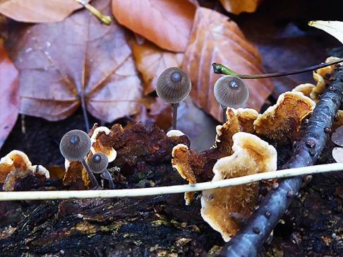 Man trifft sich auf dem Weg mit anderen Pilzen. Ob auf einen Kaffee, ist nicht bekannt.
