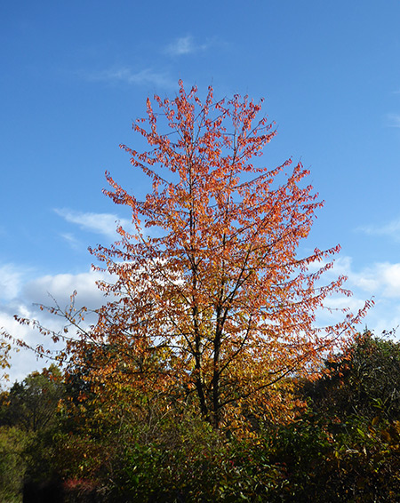 Ein letzter bunter Oktoberblick auf einen Kirschbaum.