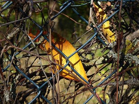 Ein Blatt aufgefangen vom Zaun.