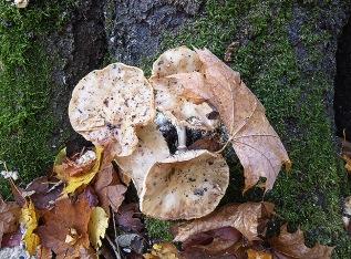 Hier dekoriert sich Pilz herbstlich mit Ahornblatt.