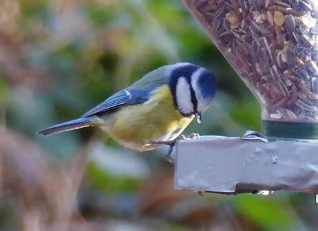 Blaumeise Parus caerulus