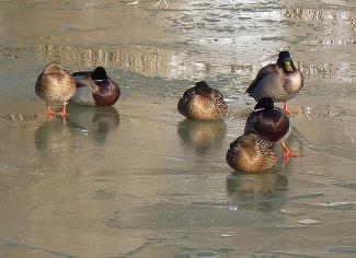 Auch die Enten haben sich nur eingekuschelt.